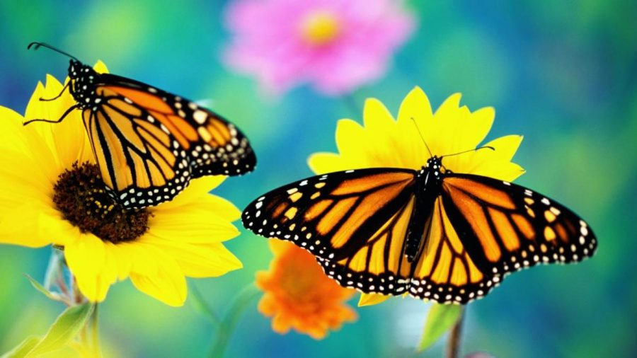 Climate+Change+Is+Linked+To+A+Decline+In+Butterfly+Populations+Across+The+US